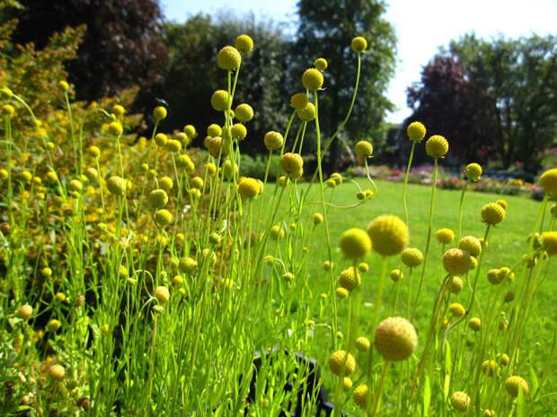 Цефалофора: пряность с ароматом земляники