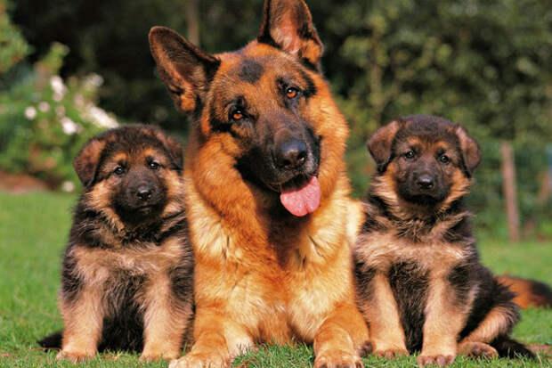 Немецкая овчарка со щенками, фото фотография служебные собаки