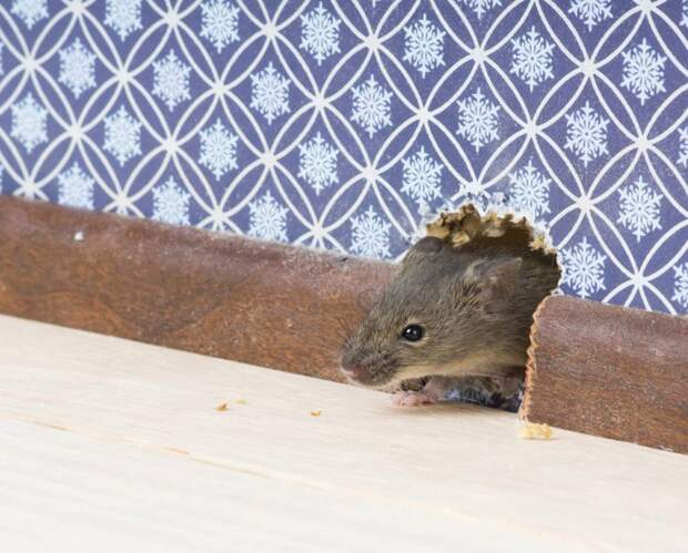 10 ценных советов, как избавиться от мышей в доме