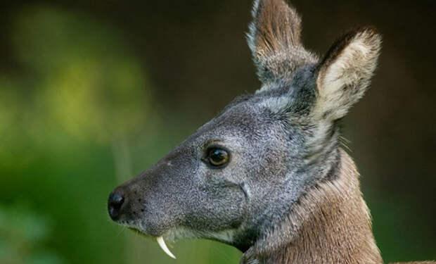 Саблезубый олень из степей охотится, ест мясо и умеет лаять как настоящая собака