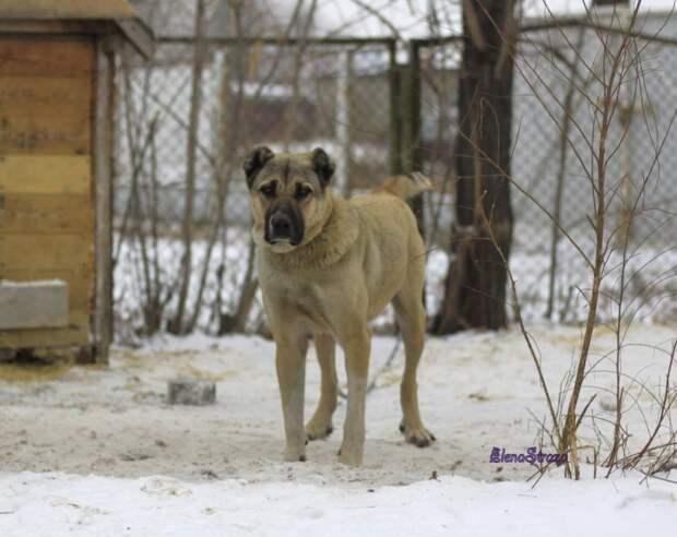 Алабай несколько недель сидела на короткой цепи у гаражей алабай, порода, собака