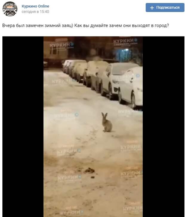 В соседнем районе Куркино по улицам бегают зайцы