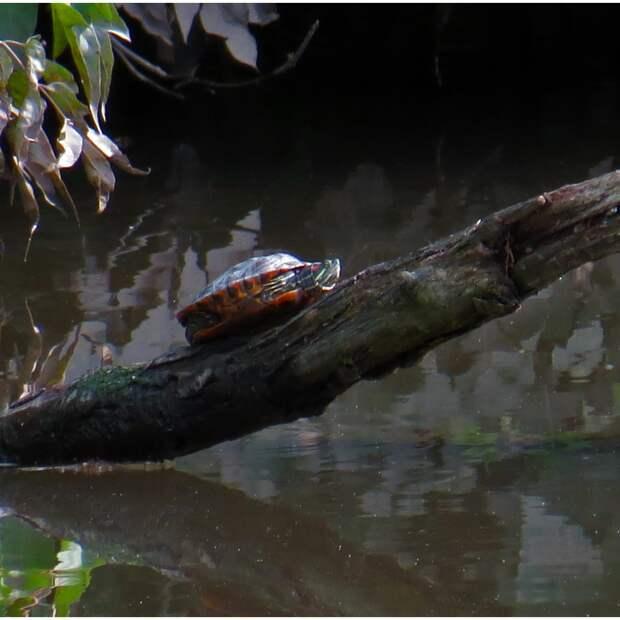 Болотная черепаха поселилась в водоеме в Северном Тушине