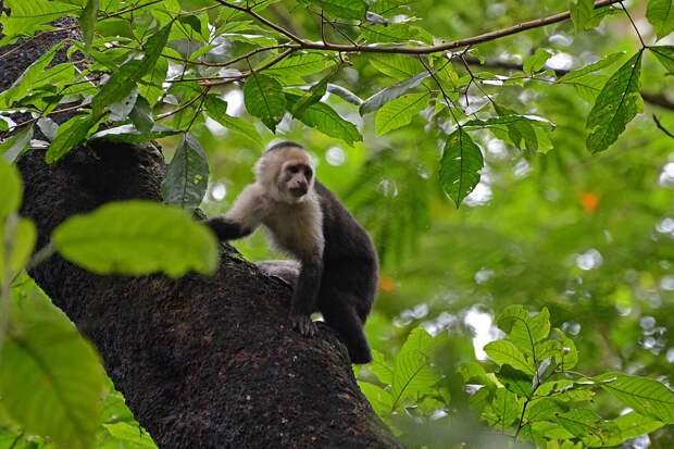 Капуцины живут на деревьях