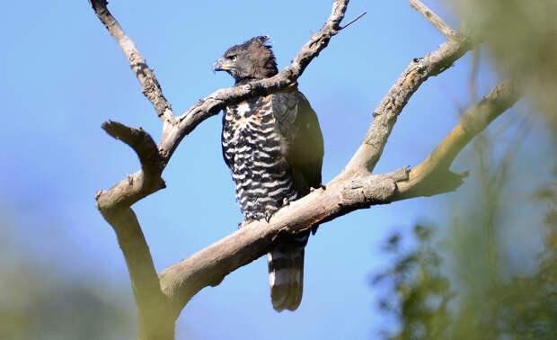 1 место. Венценосный орёл — самый опасный пернатый хищник. В его «арсенале» имеются мощные крылья и лапы, острые когти и клюв, отличное зрение. Выслеживают добычу, сидя на дереве. Размер жертвы венценосного орла  может в пять раз превышать габариты самой птицы. Так, его любимыми лакомствами являются обезьяны, небольшие антилопы, лисицы и т.д. Представители данного вида обитают на территории Центральной Африки. (Ian White)