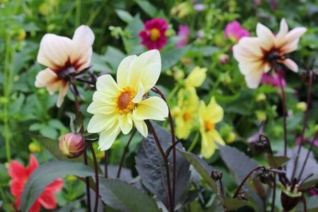 Blossoming yellow dahlias in garden