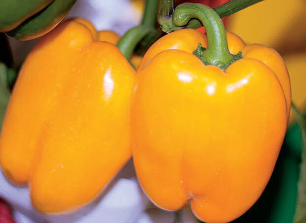10 ошибок при выращивании сладкого перца
