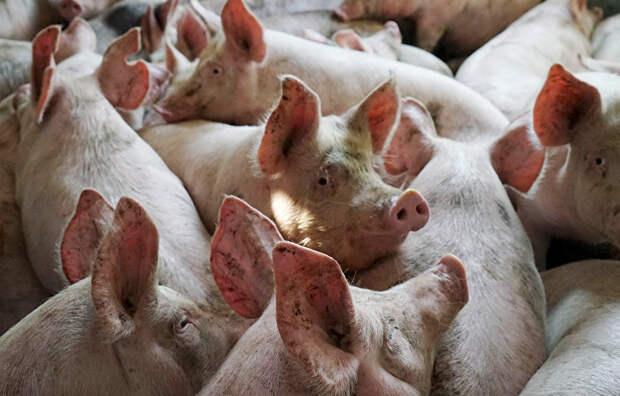 Россия ввела временный запрет на поставку свинины из Румынии.