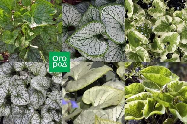 садовые декоративнолиственные растения