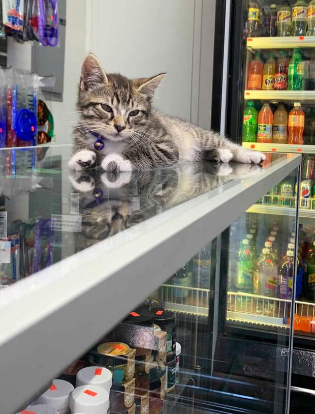 Магазинные кошки, выглядящие так, будто они и есть хозяева