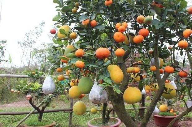 Это экперимент китайского садовода с цитрусовыми сортами. На одном дереве у него растут несколько видов мандаринов, апельсинов, лимонов, лайма, помело, грепфруты Фабрика идей, дерево-сад, интересное, растения, садоводство, факты