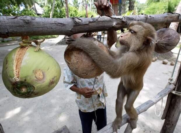 Почему люди не одомашнили обезьян