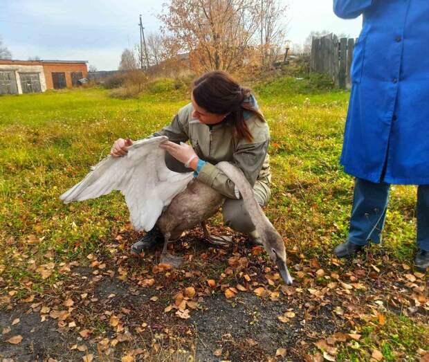 В Удмуртии спасли лебедя, налетевшего на оголенные провода