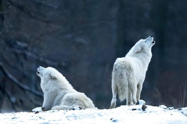 Полярный волк: 6 особенностей жизни арктического хищника