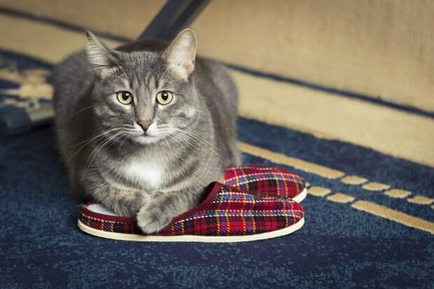 Поединок за ботинок: почему коты обожают спать в хозяйской обуви?