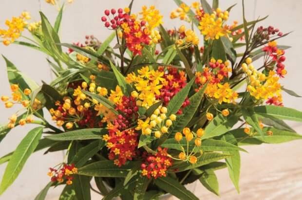 Ваточник кюрасавский, или асклепиас кюрасавский (Asclepias curassavica)