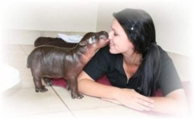 Одна африканская семья из ЮАР дала кров маленькому 16-ти килограммовому бегемотику, найденному на берегу Лимпопо.