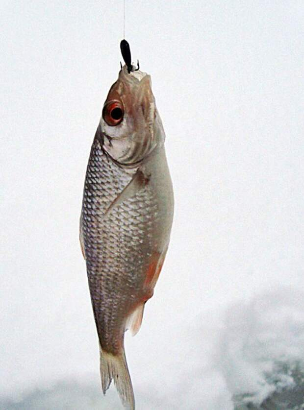 пойманная рыбка