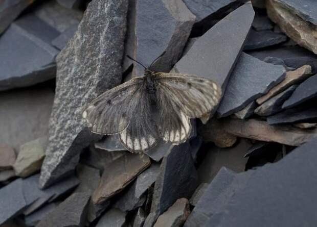 В Якутии открыли новый подвид бабочек-аполлонов
