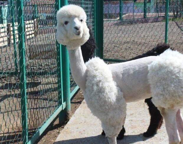 Интересные факты об альпака