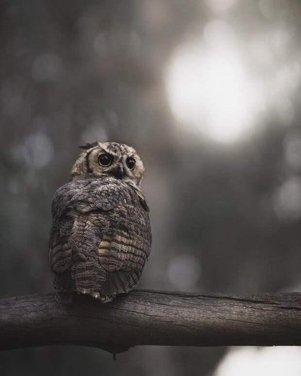 Волшебные фотографии сов