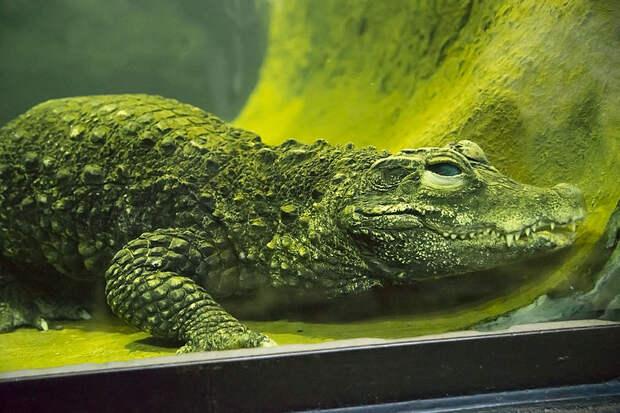 В зоопарке Сан-Диего вылупились африканские карликовые крокодильчики