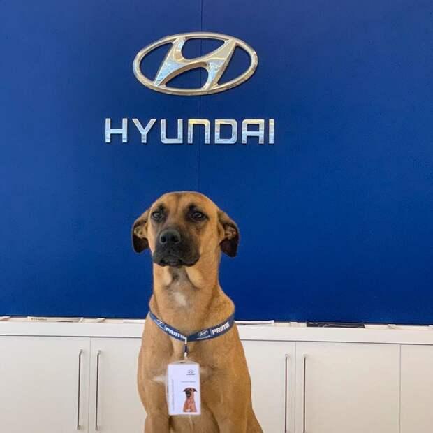 Бездомный пёс в Бразилии часто появлялся у автосалона, его взяли на работу и не прогадали