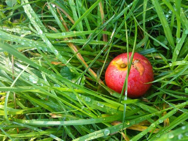 Можно ли сорвать яблоко с ветки, которая перевесилась на мой участок?
