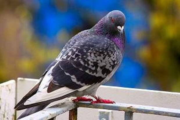 Как избавиться от голубей на открытом балконе? Самый простой способ