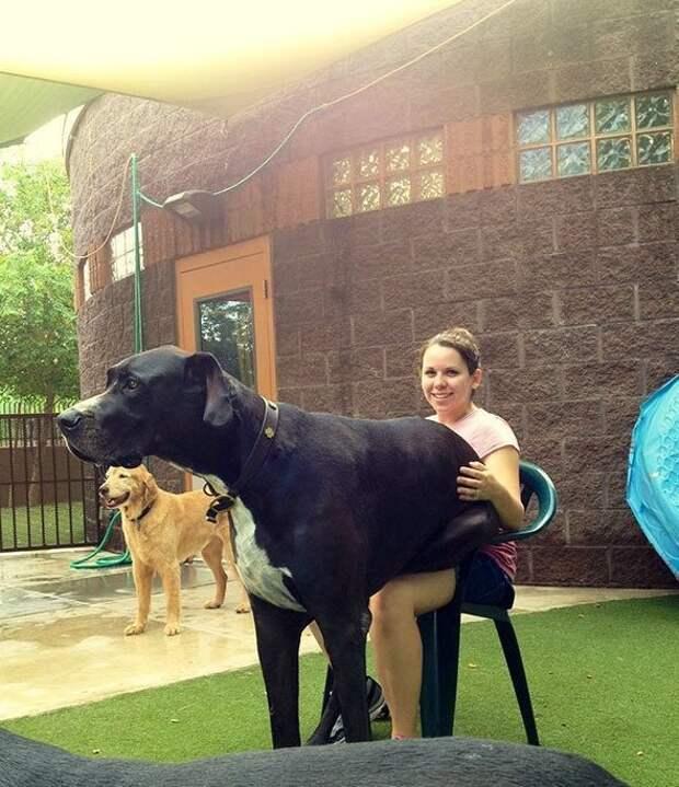 Доги просто огромны гиганты, красота, молоссы, огромные, собаки