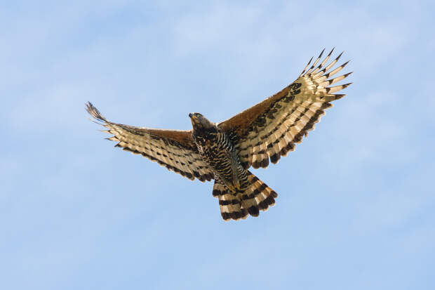 Венценосный орёл. (Peter Steward)
