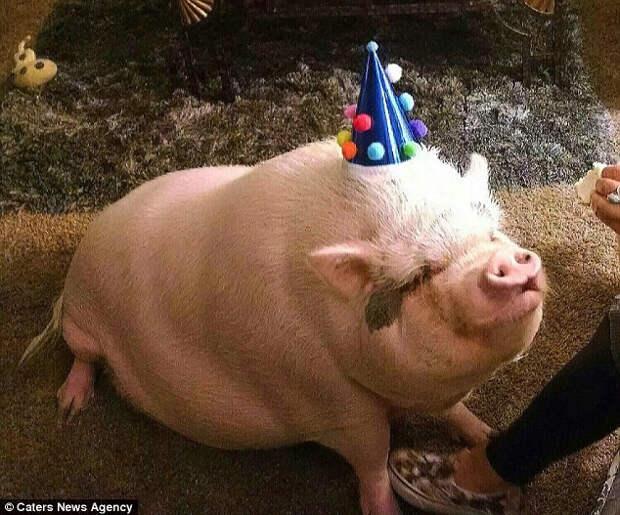 """""""Я купила себе мини-пига, но за три года он превратился в свинью весом 100 кг"""""""