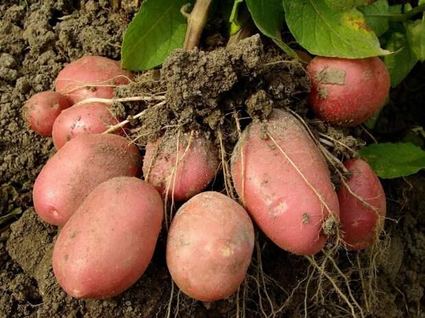 Сроки и способы посадки картофеля.