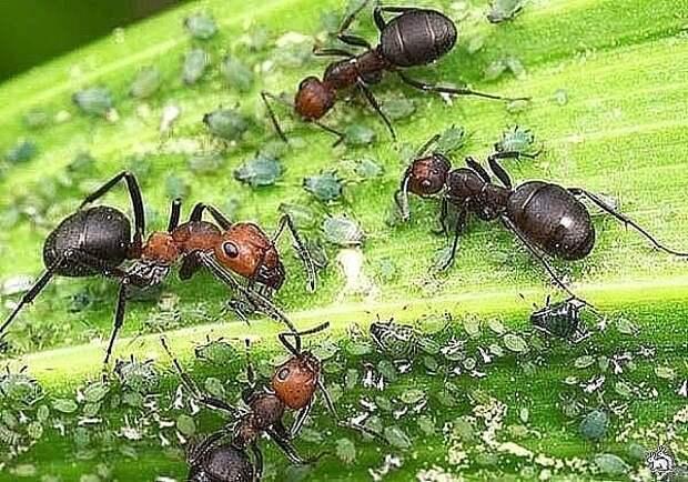 14 способов избавиться от муравьев