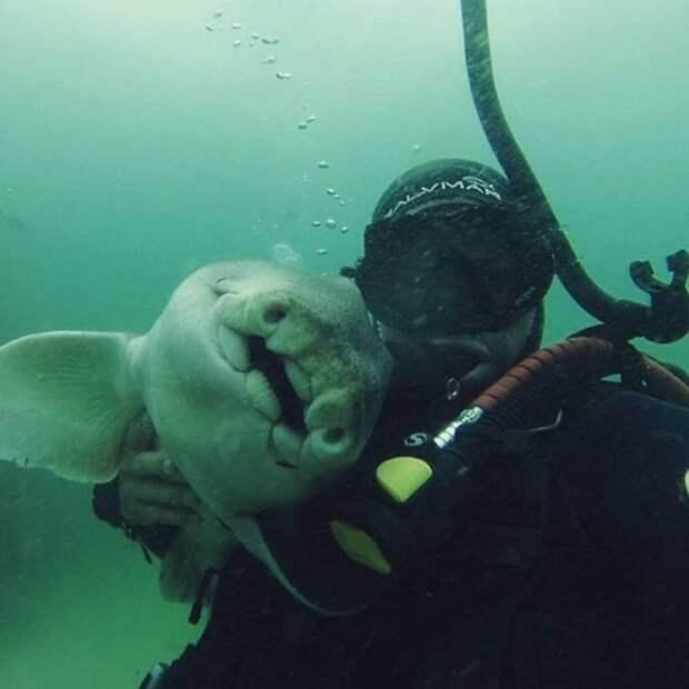 Невероятная история дружбы бычьей акулы и дайвера