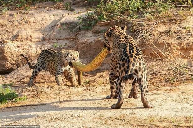 Самка ягуара и ее детеныш дерутся из-за добычи - 5-метровой анаконды