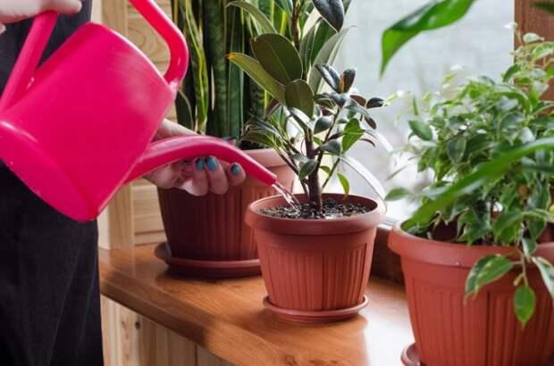 Режим полива комнатных растений