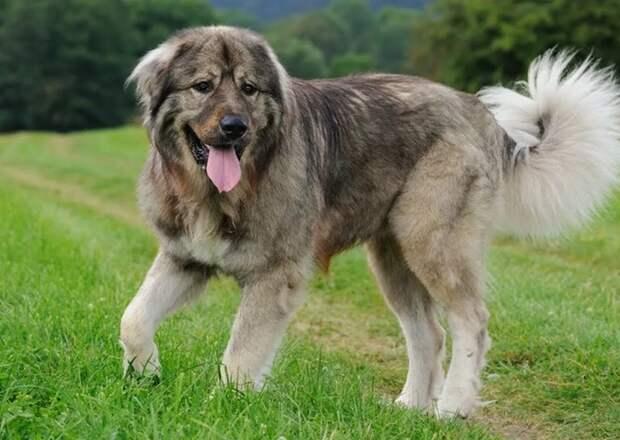 Кинологи назвали топ-5 лучших сторожевых пород собак