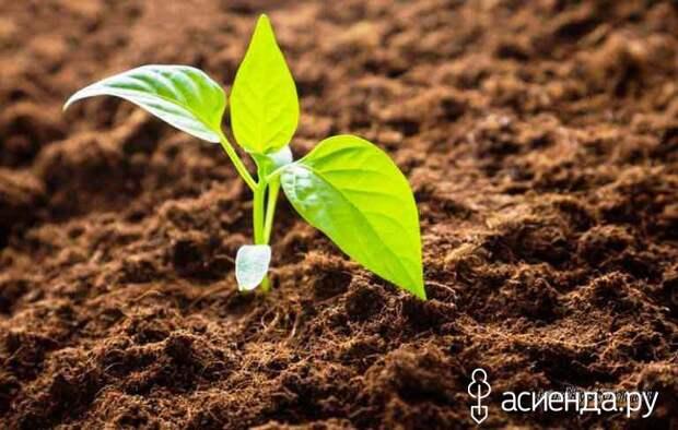 Как сажать перец на рассаду в домашних условиях