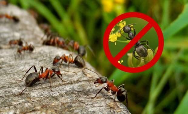 Вот как навсегда избавиться от муравьев на участке