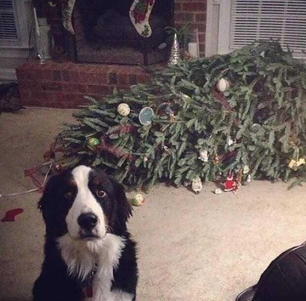 1. Елка просто упала в обморок. Сама! животные, новый год, праздник к нам приходит, разрушительная сила, рождество, собаки и кошки, юмор