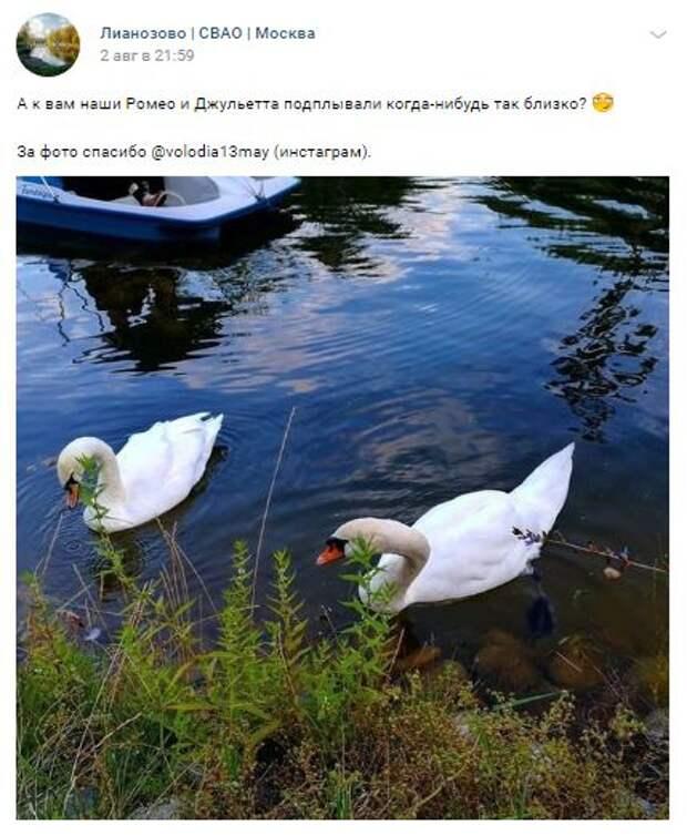 Лебеди в Лианозове не боятся людей и едят из рук