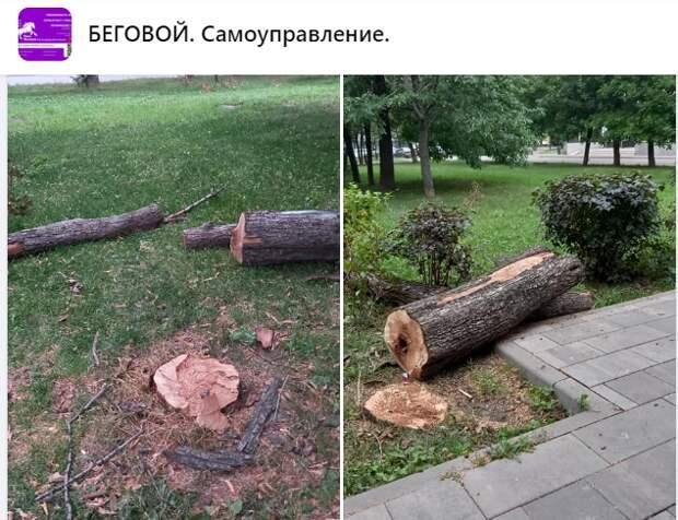 Срубленное дерево в Грушевой аллее было высохшим — «Жилищник»