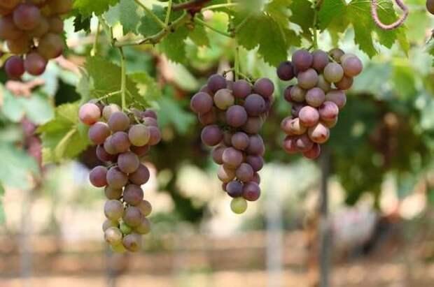 Виноград для средней полосы. Сорта, секреты высадки и ухода