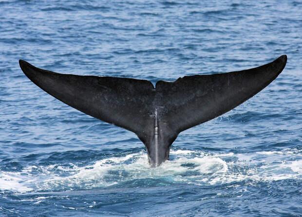 В Индийском океане обнаружили новую популяцию синих китов