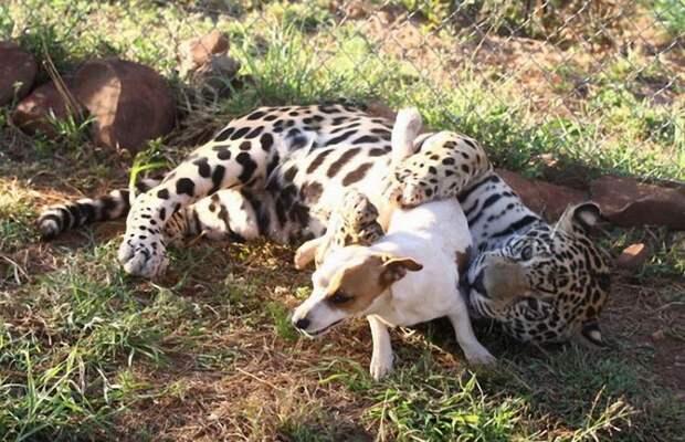 Где проходит граница, когда хищник говорит: ты не еда, ты — друг!