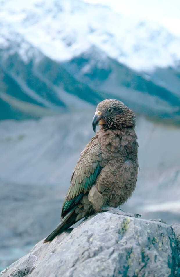Попугай - убийца овец (окончание)