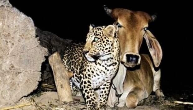 Невероятная история дружбы коровы и леопарда, которой нет объяснения