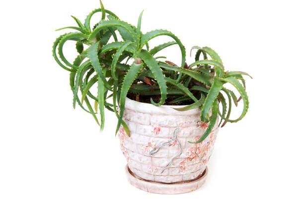10 самых популярных в России комнатных растений