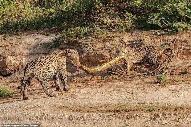 Снимки сделал Арджан Джонгнил, фотограф из Нидерландов Фото животный мир, битва животных, дикие животные, добыча, охота, фотограф, ягуары